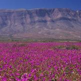 Flowers in Atacama Desert