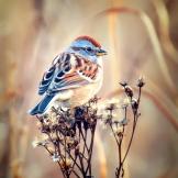 American Tree Sparrow Feeding on Seeds