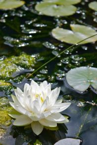 White Lotus Floating in Lily Pads