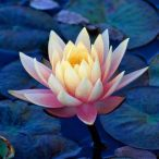 White & Pink Lotus floating in Blue Lily pads