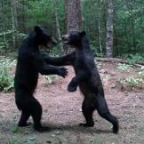 Bears Dancing In The Woods