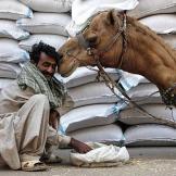 Camel Kissing Man