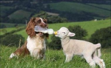 Dog feeding lamb