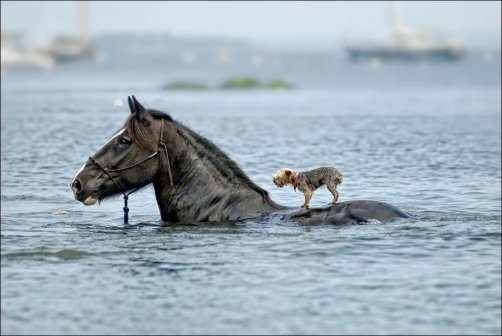 Horse Carry Dog To Safety