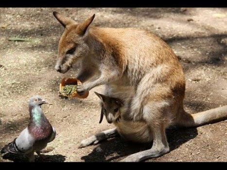 Kangaroo & Pigeon