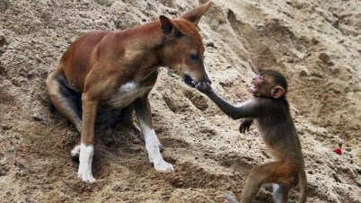 Monkey feeding dog