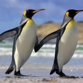Penguins Dancing