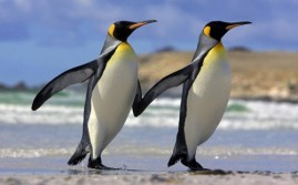 Penguins Dancing