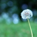 Simple Dandelion