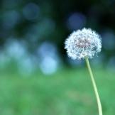 Simple Dandelion